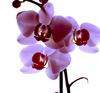 Капризная красавица: как угодить орхидее?