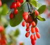 Барбарис и его полезные свойства - усиливает секрецию желчи