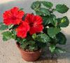 Гибискус: суданская роза