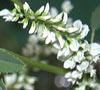 Донник лекарственный и его полезные свойства: и у сорняка есть тайны