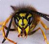 Как обезвредить укус осы
